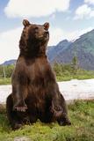 Captive: Brown Bear Sits on its Rump at the Alaska Wildlife Conservation Center, Alaska Captive