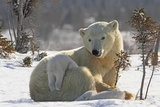 Mother Polar Bear (Ursus Maritimus) Playing with Her Cub