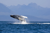 Humpback Whale in Inside Passage Leaping Out of the Water Southeast Alaska Summer
