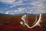Caribou Skull and Antlers Laying on Arctic Tundra Kobuk Valley National Park Alaska Autumn