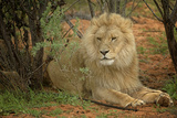 A Male Lion in the Cederberg Wilderness Area, South Africa