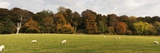 Sheep Grazing in Meadow, Northumberland, England