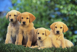 Lab and Golden Retriever Puppies