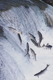 Salmon Swimming up a Waterfall