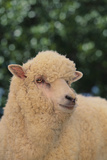 Whitefaced Sheep