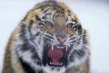 Growling Bengal Tiger
