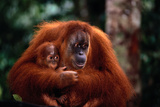 Mother Holding Baby Orangutan