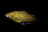 Xiphophorus Maculatus (Southern Platyfish, Platy, Moonfish, Mickey Mouse Platy)