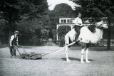 Camel Lawn-Mower, Ridden by Gardener Fred Perry at London Zoo, 1913