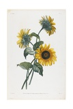 Study of Sunflowers, 1805