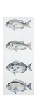 Fishes: Perciformes Sparidae