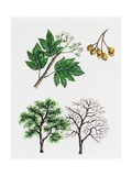 Wild Service Tree or Chequer Tree (Sorbus Torminalis)