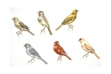 Birds: Passeriformes, Canaries (Serinus Canaria): Colourbred Canaries, Colour Mutations