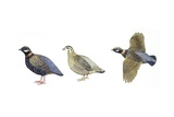 Birds: Galliformes, Black Francolin, (Francolinus Francolinus), Male and Female