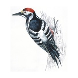 Birds: Piciformes, White-Backed Woodpecker (Dendrocopos Leucotos)