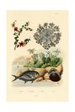Upside Down Jellyfish, 1833-39