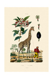 Giraffe, 1833-39