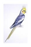 Birds: Psittaciformes, Cockatiel (Nymphicus Hollandicus)