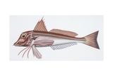 Zoology: Fishes: Tub Gurnard (Trigla Lucerna)