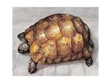 Close-Up of a Spur-Thighed Tortoise (Testudo Graeca)