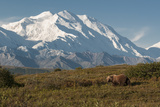 A Grizzly Bear, Ursus Arctos, Searches for Berries in the Fall in Denali National Park