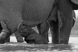 An African Elephant Calf Playing in the Water with its Herd