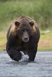 Adult Brown Bear, Ursus Arctos, Fishing for Salmon