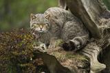 Scottish Wildcat (Wildcat) (Felis Silvestris), Devon, England, United Kingdom