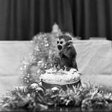 Pip the Squirrel Monkey
