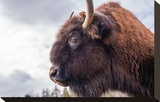 Bison Head With Cloudy Sky