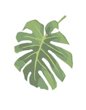 Philodendron 1