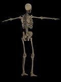3D Rendering of Human Skeletal System, Rear View