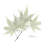 Japanese Maple Portrait 2