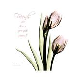 Tulip Friends
