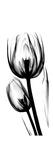 Tulip A52