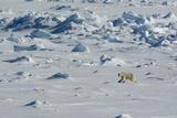Norway. Svalbard. Hinlopen Strait. Polar Bear Walking on the Drift Ice