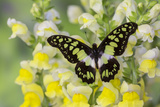 Electric Green Swallowtail Butterfly, Graphium Tyndereus