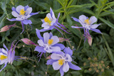 Colorado Columbine from Gothic Road, Crested Butte, Colorado