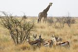 Namibia, Etosha National Park. Giraffe and Springboks