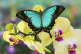 Sea Green Swallowtail Butterfly, Papilio Lorquinianus