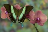 The Green Swallowtail Butterfly, Papilio Blumei