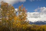 Autumn Trees, Willow Flats, Grand Teton National Park, Wyoming, USA