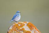 Wyoming, Sublette Co, Mountain Bluebird Sitting on Orange Lichen Rock