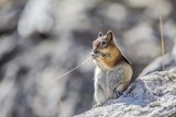 Wyoming, Golden-Mantled Ground Squirrel Eating Seedhead of Grass