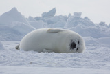 A Harp Seal Pup Sleeps at the Iles De La Madeleine in the Gulf of Saint Lawrence