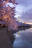 Cherry Trees in Bloom, and the Washington Monument at Twilight