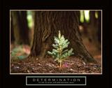 Determination ? Little Pine