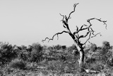 Awesome South Africa Collection B&W - Savanna Tree