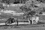 Awesome South Africa Collection B&W - Black Wildebeest and Two Zebras
