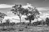 Awesome South Africa Collection B&W - African Landscape with Acacia Tree XV